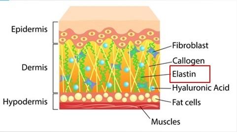 威塑靠彈性蛋白的收縮來緊實皮膚